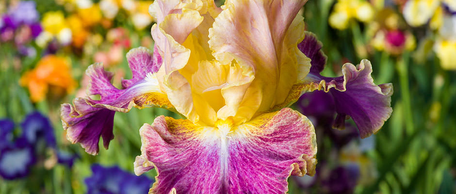 Hondo Iris Festival